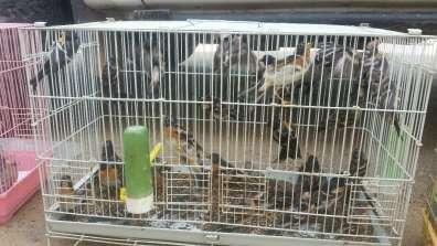 ציפורים בבכלוב