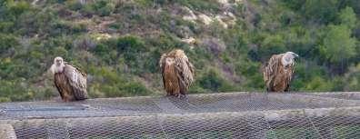 נשרים על כלוב הנשרים בחי בר כרמל