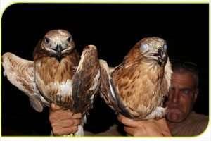 חילוץ עופות דורסים