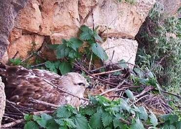 העקב העיטי ממצלמת האונליין הסמוכה לקן