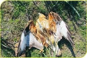 עקב עיטי שמת מאכילת פגר מורעל של חיית בר שאף היא מתה מהרעל. לעתים סכסוכים בין חקלאים מסתיימים בחיות בר מורעלות.