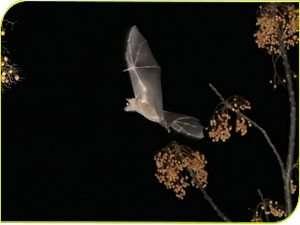 עטלף פירות לילה