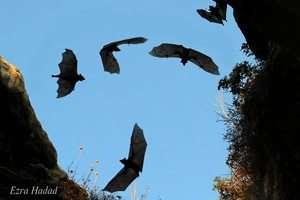 עטלפי פירות