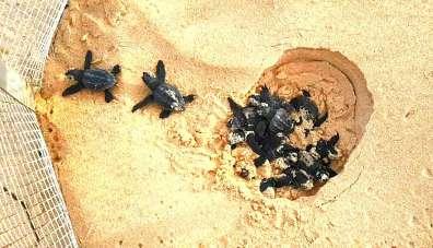 בקיעת צבוני ים - צילום יתיר שמיר, רשות הטבע והגנים