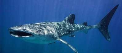 כריש לוויתן באילת - צילום  עמרי יוסף עומסי רשות הטבע והגנים