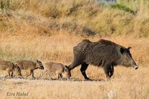משפחת חזירי בר - צילם עזרא חדד