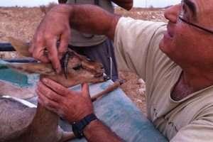 דוקטור רוני קינג, וטרינר רשות הטבע והגנים מטפל בצביה שחולצה מבור מים