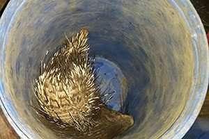 הדורבן החי כפי שנמצא בתוך מיכל הפלסטיק - צילום: שי קבסה, רשות הטבע והגנים