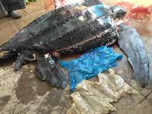 צב ים גלדי מת בגלל שקית ניילון