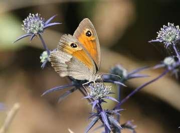פרפרית סטירית פקוחה על חרחבינה מכחילה בכרמל- צילם דותן רותם
