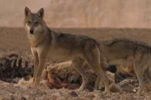 זאב ערבה - צילום אייל ברטוב