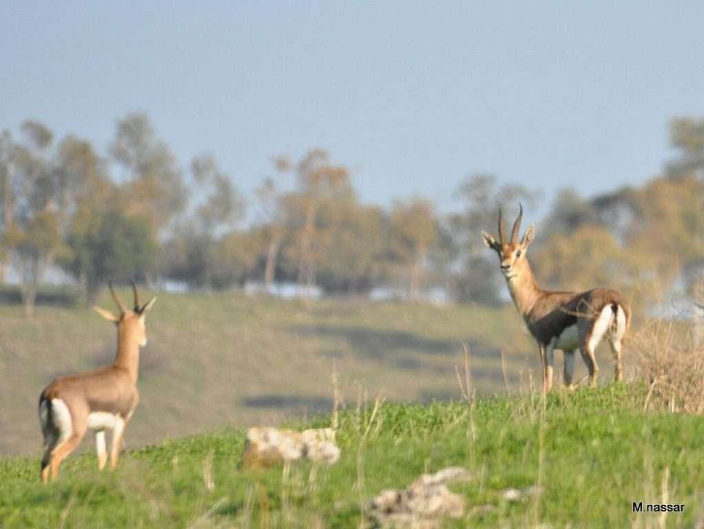 צבי ישראלי - צילום מחמוד נאסר - רשות הטבע והגנים
