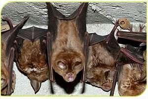עטלפים ממין פרסף גדול - צילם עזרא חדד, רשות הטבע והגנים