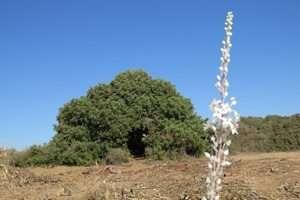 חצב פורח ועץ חרוב - צילם עמי לזר