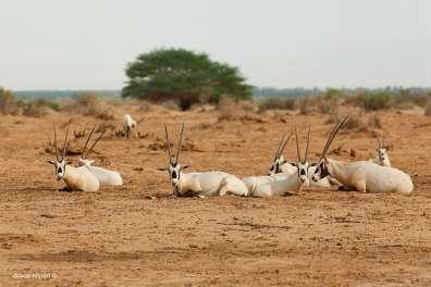 ראמים בשמורת טבע חי בר יטבתה - צילם דורון ניסים