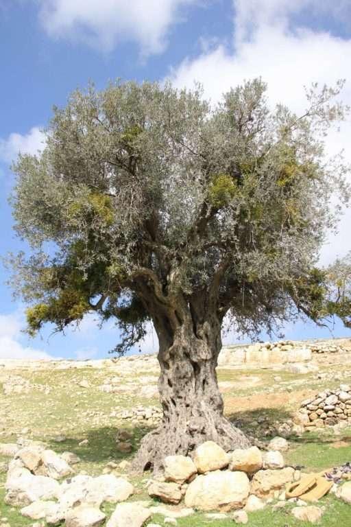 עץ זית, נבי סמואל