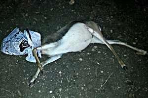 גופת צבייה הריונית - צילם רועי ארד