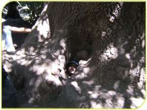 עץ פו הדב בשמורת טבע תל דן - צילמה ענת זוהר, רשות הטבע והגנים