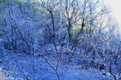 שרידי חורש שרוף בהרי יהודה.  צילום: עזרא חדד