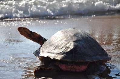 צב ים משוחרר בחזרה לים לאחר שטופל במרכז הארצי להצלת צבי ים ושוקם