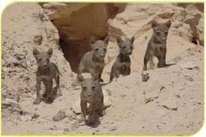 גורי זאבים - צילמה מיכל אוקו, רשות הטבע והגנים