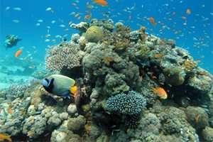 אלמוגים בריאים ומפותחים הם הבסיס לשוניות האלמוגים ולמגוון המינים העצום שנמצא בהן