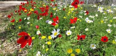 מרבדי פרחים בחורשת טל - דודו פרו