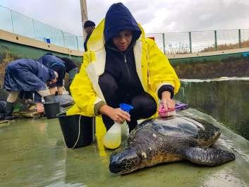 מתנדבים במרכז הארצי להצלת צבי ים. צילום - גיא גרוספלד