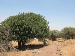 עצי חרוב לצד שביל הסיור