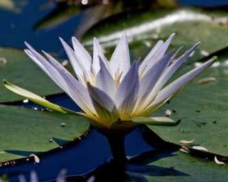 נימפאה תכולה בשמורת טבע עין אפק