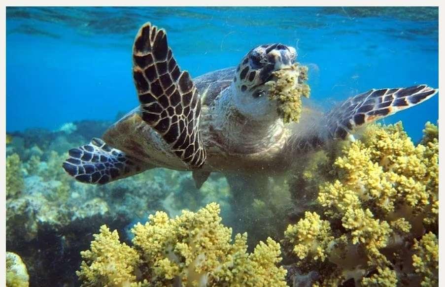 Hawksbill sea turtle eats soft corals. Photo: Golan Raider