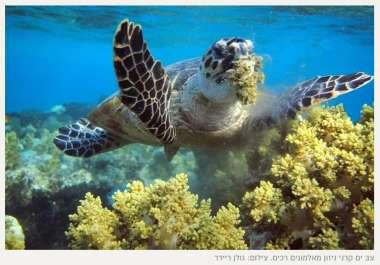 צב ים קרני ניזון מאלמוגים רכים - צילום גולן ריידר