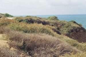 צמחייה שרועה בחזית מצוק הכורכר באפולוניה