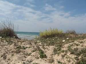 צומח חולי, לפופית החוף וידיד החולות