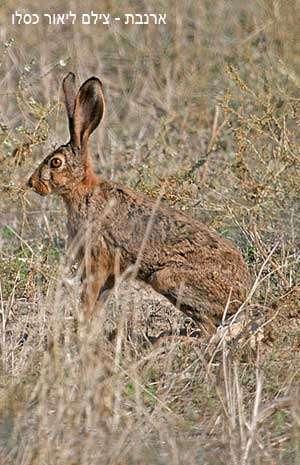 ארנבת - צילום ליאור כסלו