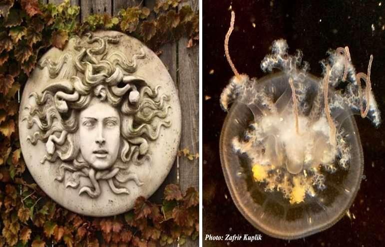 תמונה 1. פסל גינה של דמות מדוזה כפי שהיא מתוארת במיתולוגיה היוונית, ולידו צילום של חוטית נודדת צעירה (קוטר המדוזה קטן מ-5 סמ)