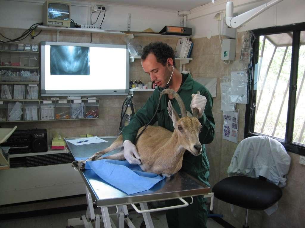טיפול ביעל בבית החולים לחיות בר