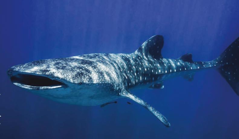 כריש לויתן, צילום: עומרי יוסף עומסי