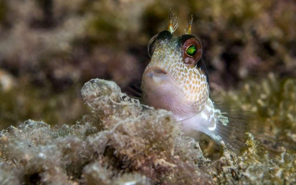 דג מציץ