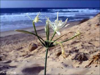 חבצלת החוף.jpg