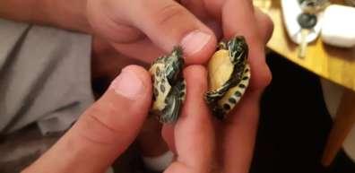 צבים צהובי אוזן
