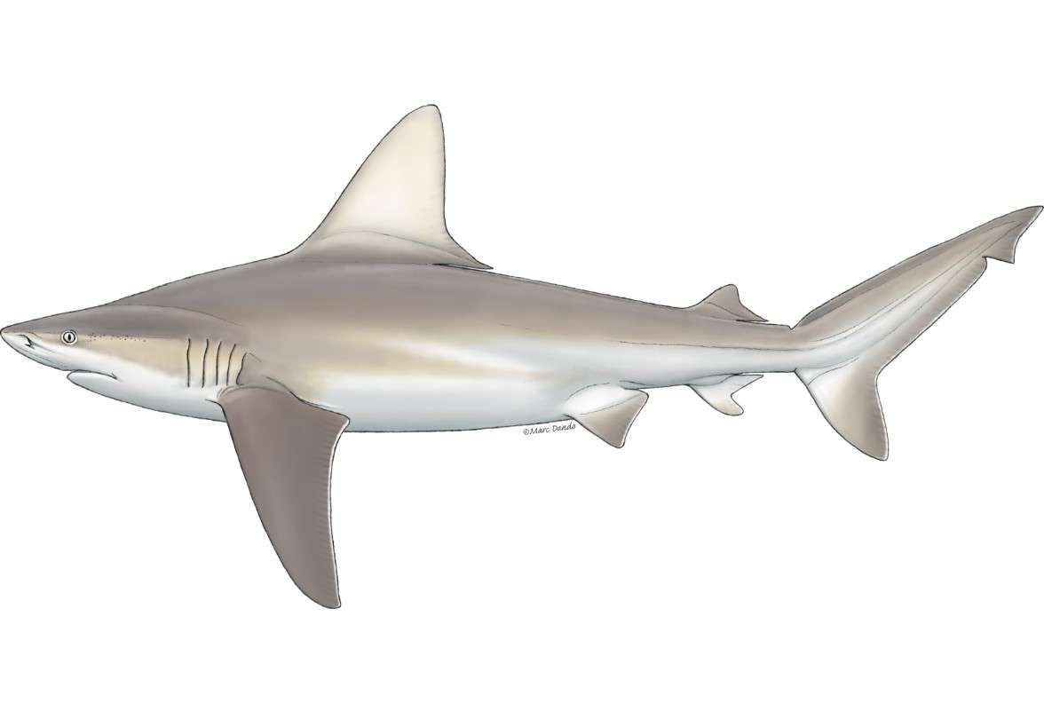 Carcharhinus plumbeus כריש סנפירתן Marc Dando.jpg