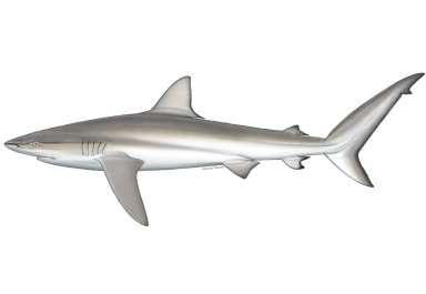 Carcharhinus obscurus כריש עפרורי .jpg