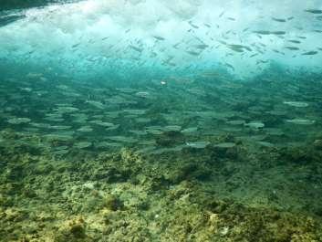 ים שקמונה