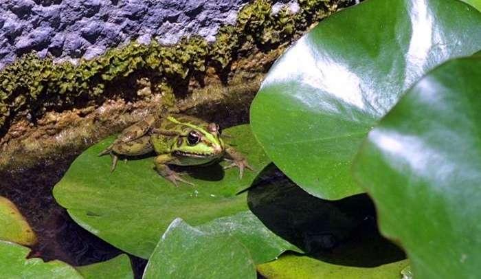 צפרדע נחלים.jpg