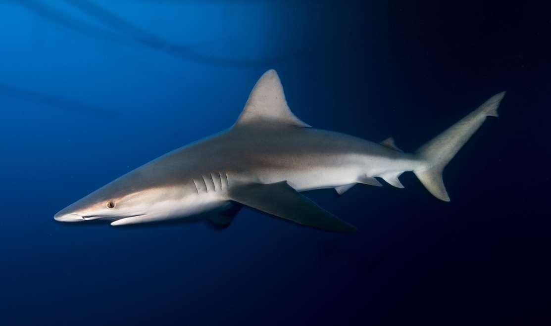 כריש סנפירתן.jpg