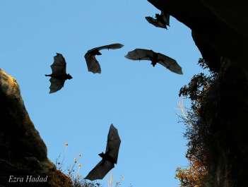 עטלפי פירות.jpg