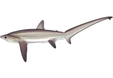 Alopias superciliosus כרישועל זנבתן .jpg
