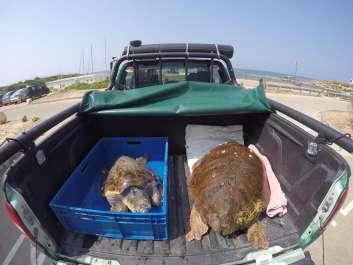 שחרור צבי ים