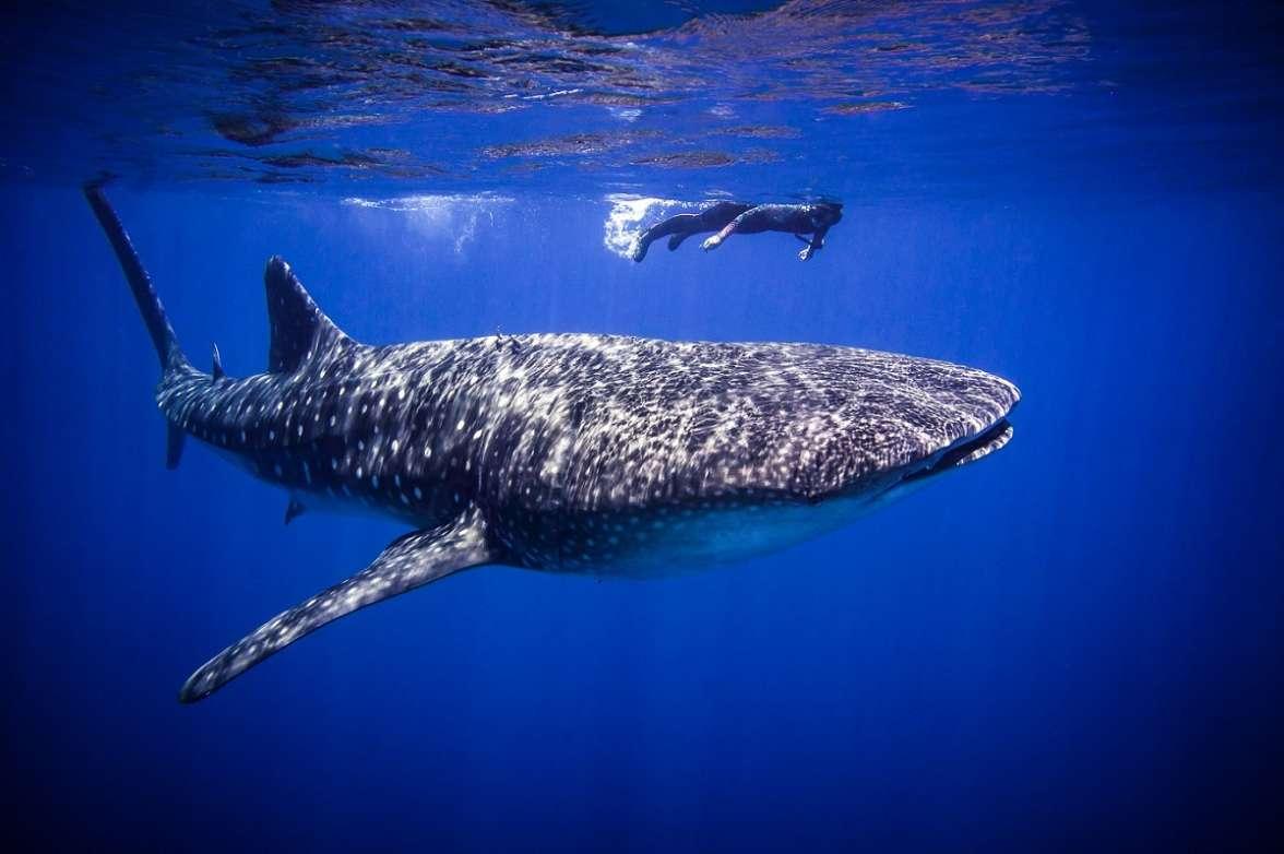 כריש לוויתן במפרץ אילת - עומרי יוסף עומסי רשות הטבע והגנים-1.jpg